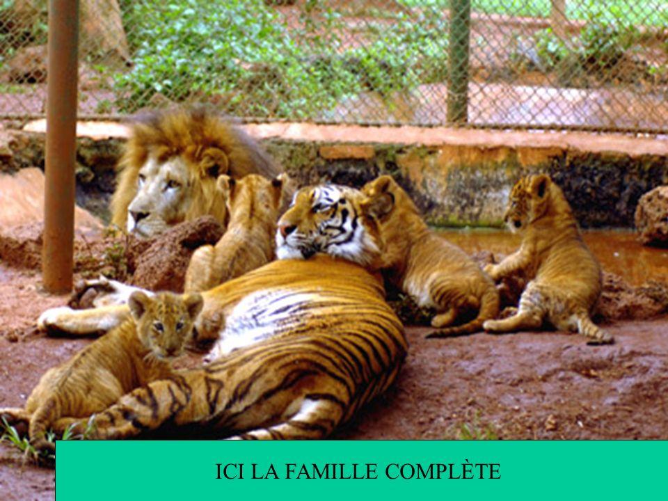 Cela vient du fait que chez les lions c'est une hérédité maternelle et chez les tigres, c'est une hérédité paternelle, par conséquent les LIGRES ne re
