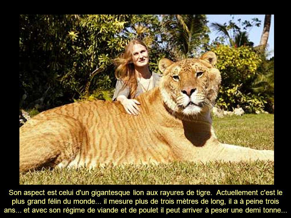 C'est un LIGRE, c'est à dire un hybride né d'un lion et une tigresse
