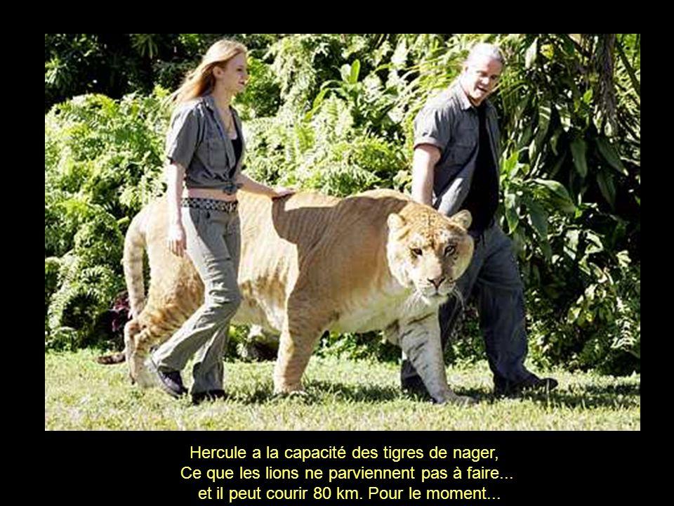 Son aspect est celui d un gigantesque lion aux rayures de tigre.