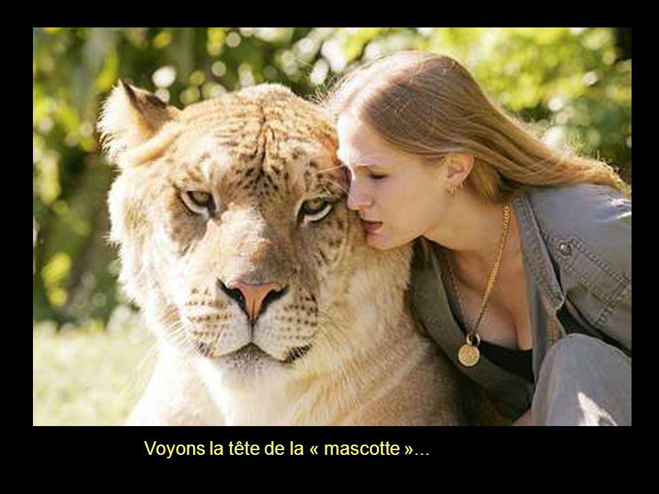 Hercule a la capacité des tigres de nager, Ce que les lions ne parviennent pas à faire...