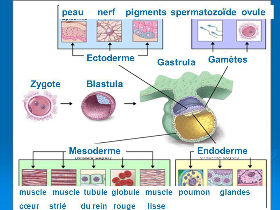Ectoderme Mesoderme Endoderme peau nerf pigmentsspermatozoïde ovule Gamètes muscle muscle tubule globule muscle poumon glandes cœur strié du rein roug