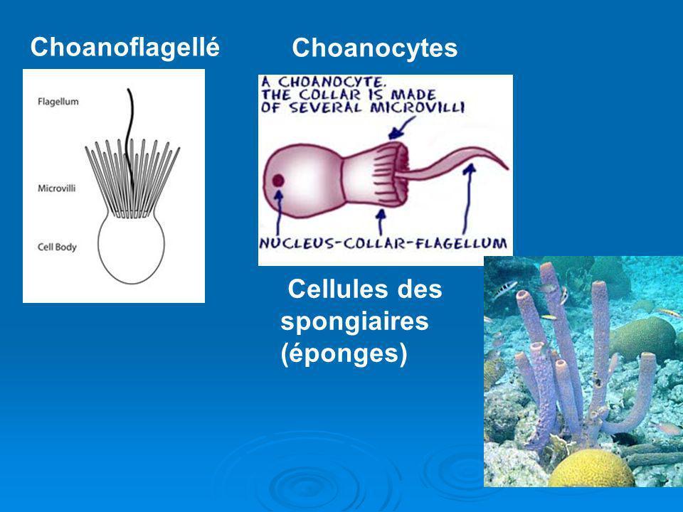Cellules des spongiaires (éponges) Choanoflagellé Choanocytes