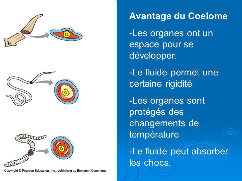 Avantage du Coelome -Les organes ont un espace pour se développer. -Le fluide permet une certaine rigidité -Les organes sont protégés des changements