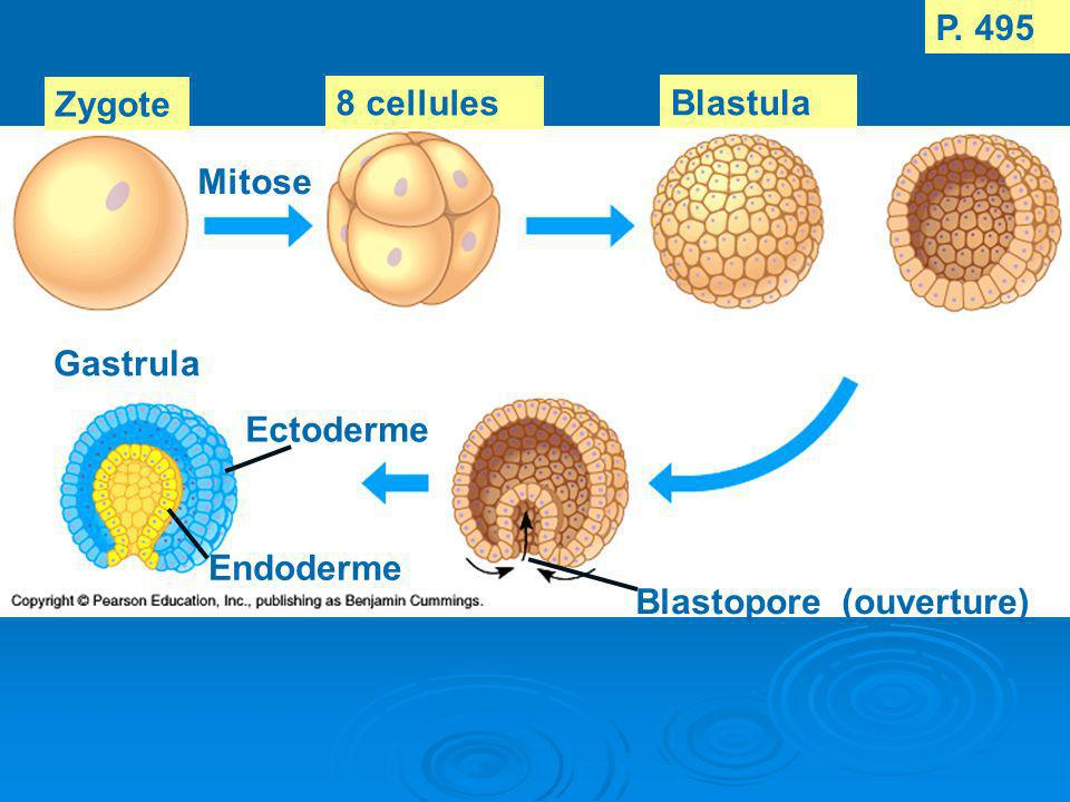 Zygote Mitose 8 cellules P. 495 Blastula Gastrula Ectoderme Endoderme Blastopore (ouverture)