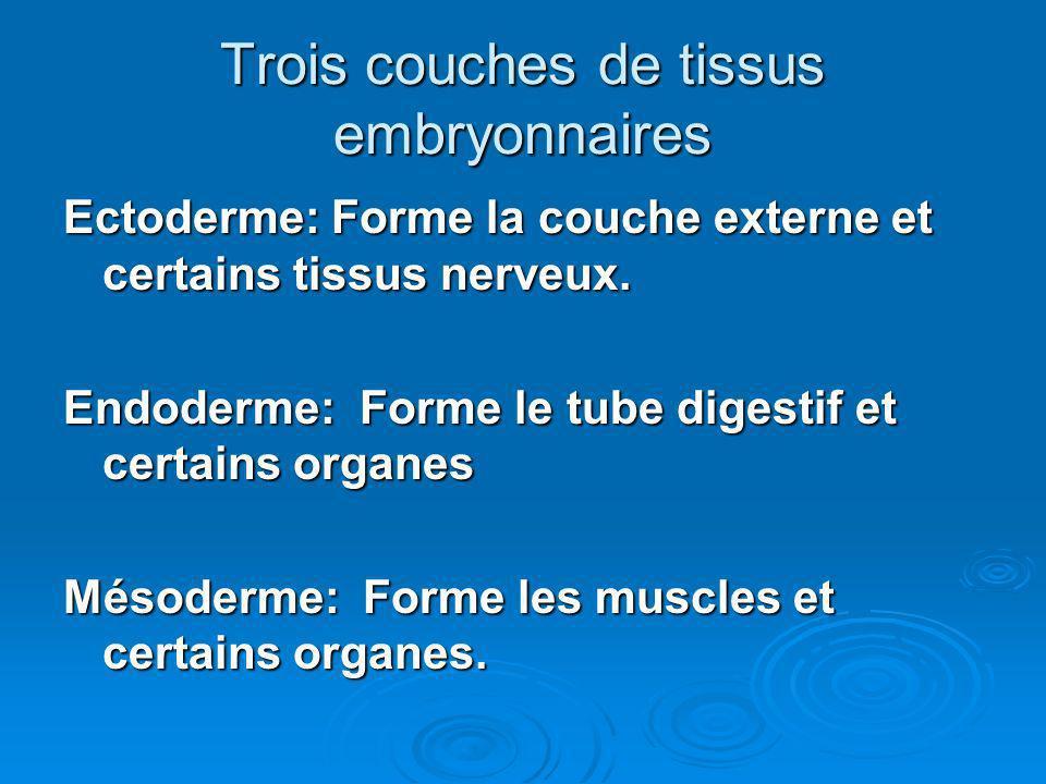 Trois couches de tissus embryonnaires Ectoderme: Forme la couche externe et certains tissus nerveux. Endoderme: Forme le tube digestif et certains org