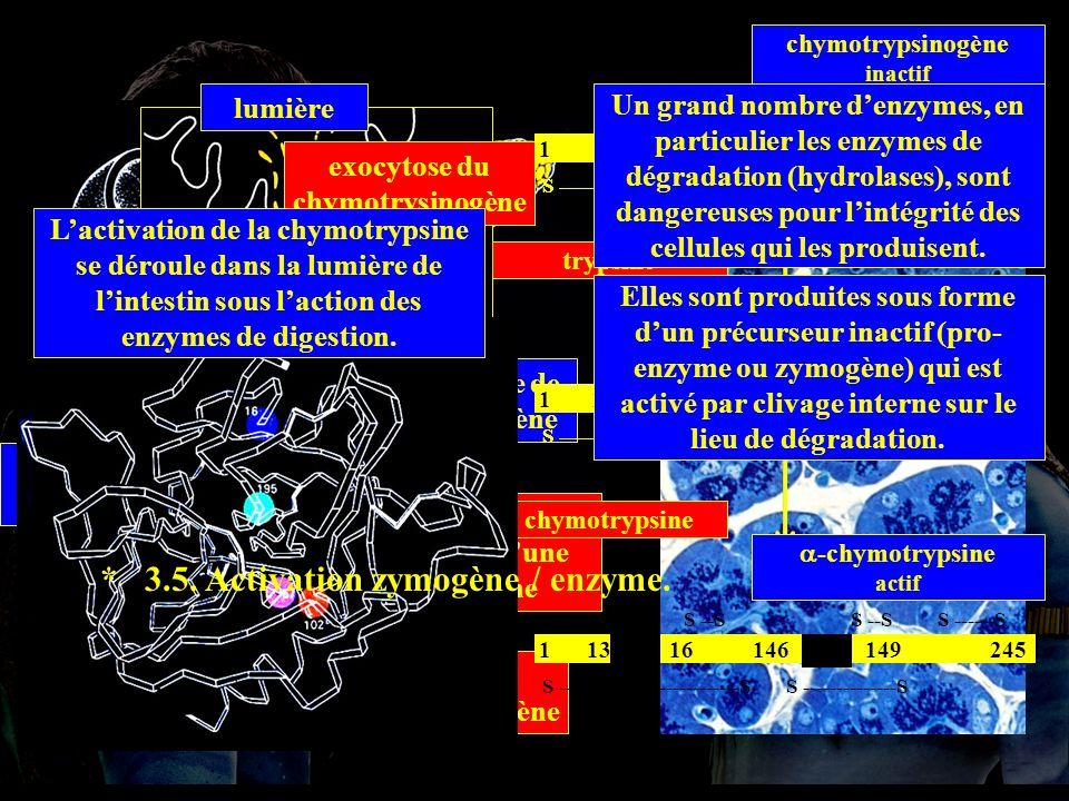 acinus REG appareil de Golgi granule de zymogène lumière synthèse du chymotrypsinogène stockage exocytose du chymotrysinogène chymotrypsinogène recouv