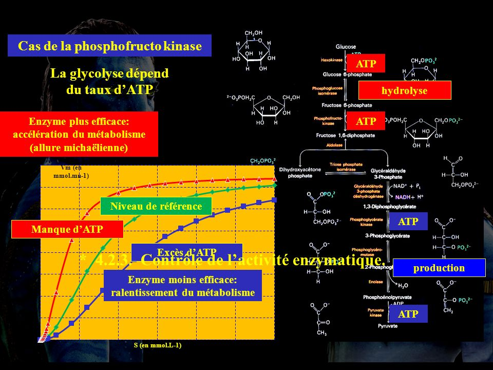 4.2.3 Cas de la phosphofructo kinase ATP La glycolyse dépend du taux dATP Niveau de référence Excès dATP Enzyme moins efficace: ralentissement du métabolisme Manque dATP Enzyme plus efficace: accélération du métabolisme (allure michaëlienne) * 4.2.3.