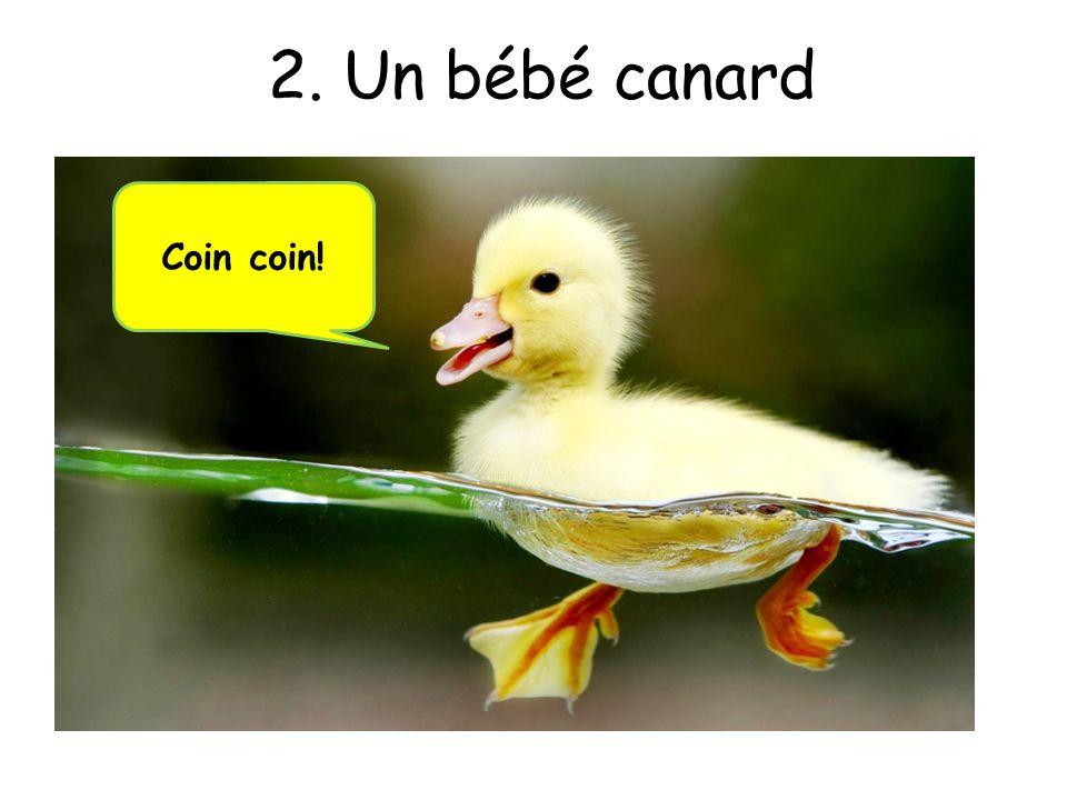 2. Un bébé canard Coin coin!