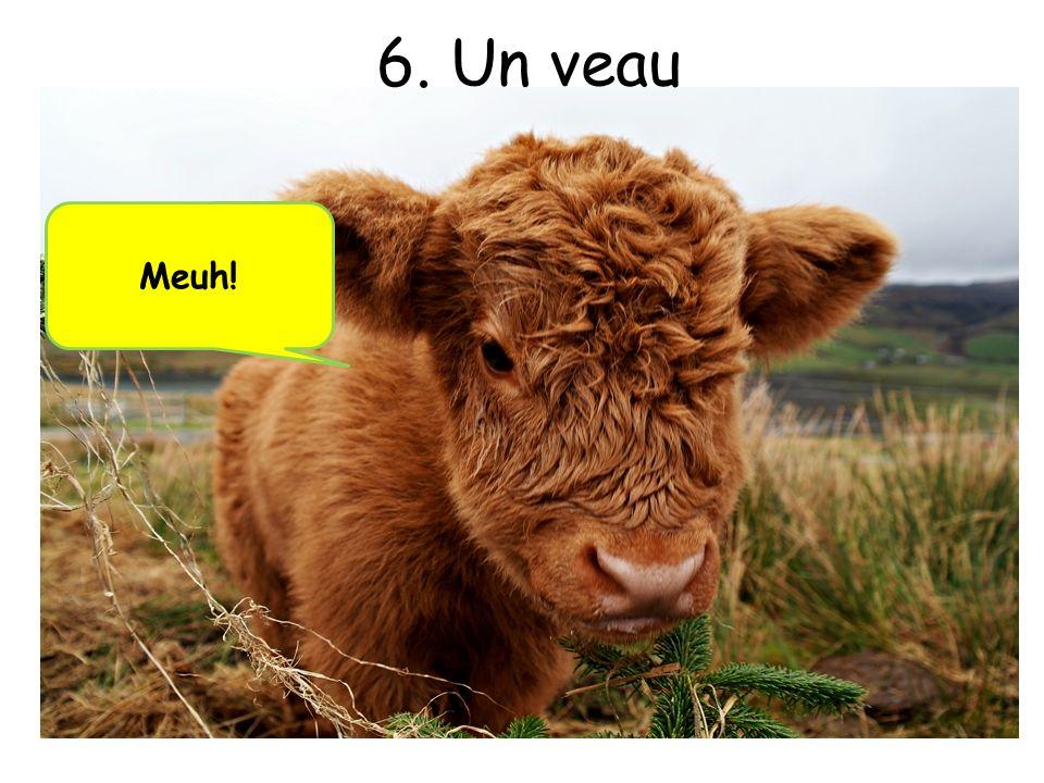 6. Un veau Meuh!
