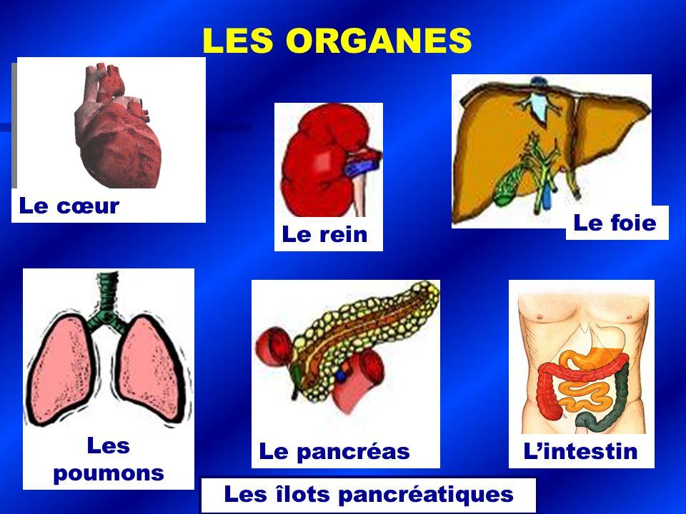 Le foie Le cœur Le pancréas Le rein Lintestin Les îlots pancréatiques Les poumons LES ORGANES