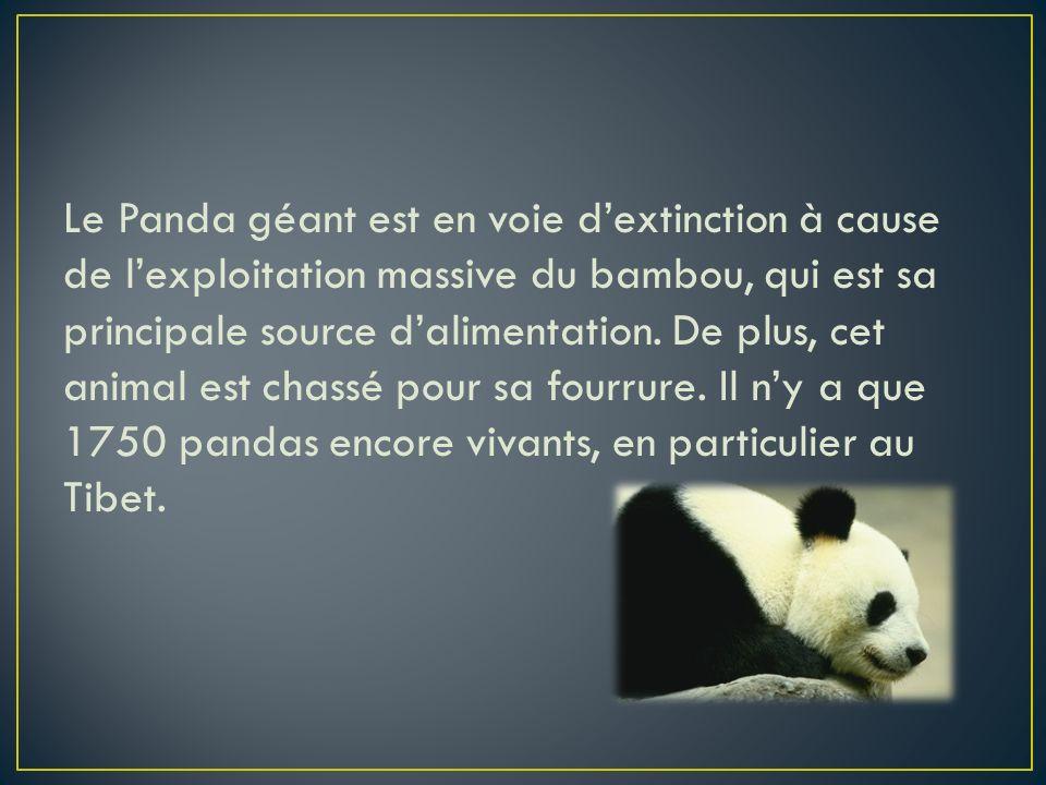 Le Panda géant est en voie dextinction à cause de lexploitation massive du bambou, qui est sa principale source dalimentation. De plus, cet animal est