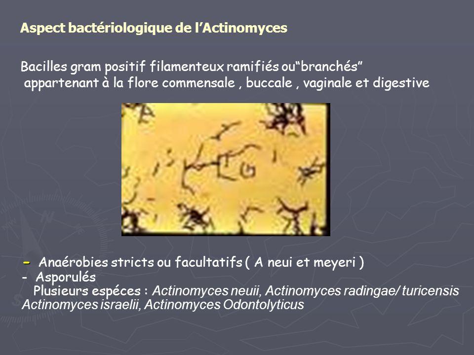 Aspect bactériologique de lActinomyces Bacilles gram positif filamenteux ramifiés oubranchés appartenant à la flore commensale, buccale, vaginale et d