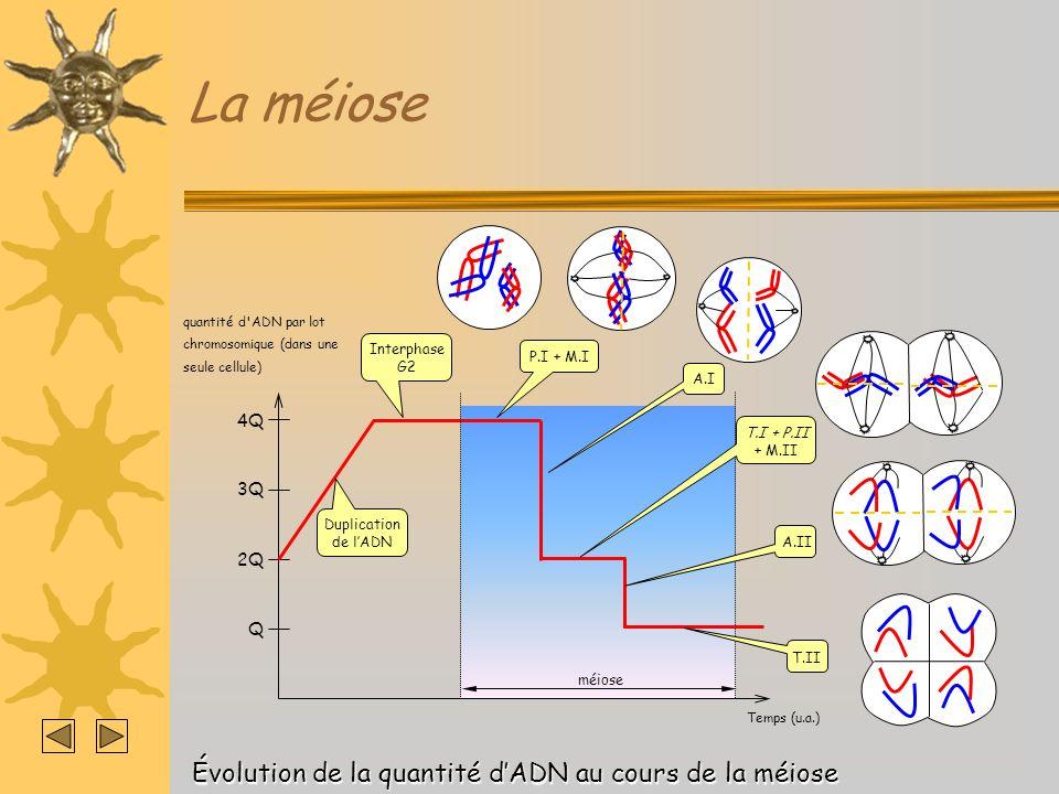 La méiose Temps (u.a.) méiose quantité d'ADN par lot chromosomique (dans une seule cellule) 4Q 2Q Q Duplication de lADN Interphase G2 P.I + M.IT.I + P