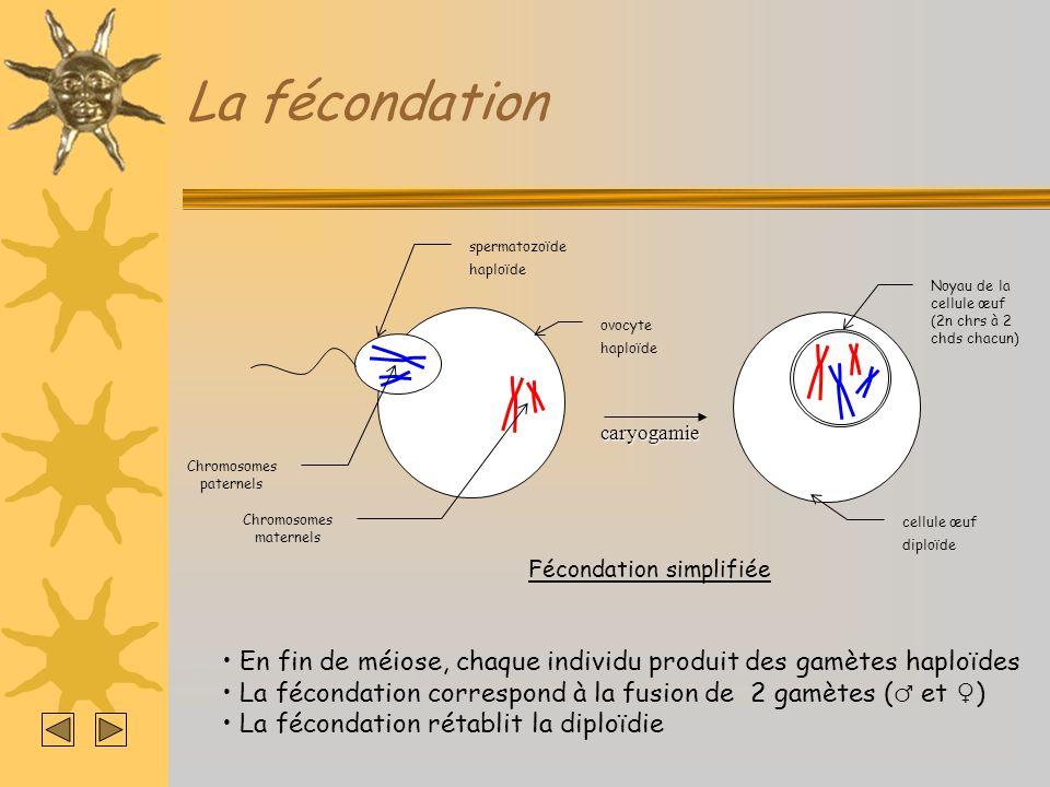 La fécondationcaryogamie Noyau de la cellule œuf (2n chrs à 2 chds chacun) cellule œuf diploïde spermatozoïde haploïde ovocyte haploïde Chromosomes pa