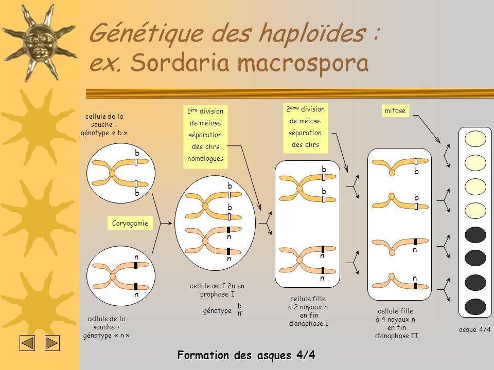 Génétique des haploïdes : ex. Sordaria macrospora b b cellule de la souche – génotype « b » n n cellule de la souche + génotype « n » Caryogamie 1 ère