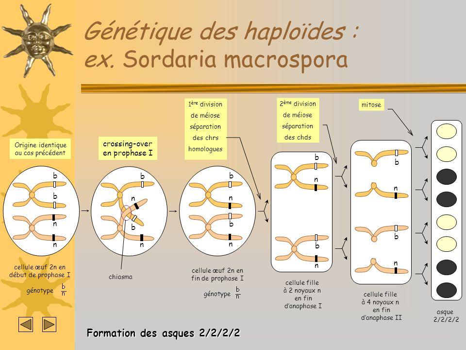 Génétique des haploïdes : ex. Sordaria macrospora mitose asque 2/2/2/2 n n b b cellule fille à 4 noyaux n en fin danaphase II 2 ème division de méiose