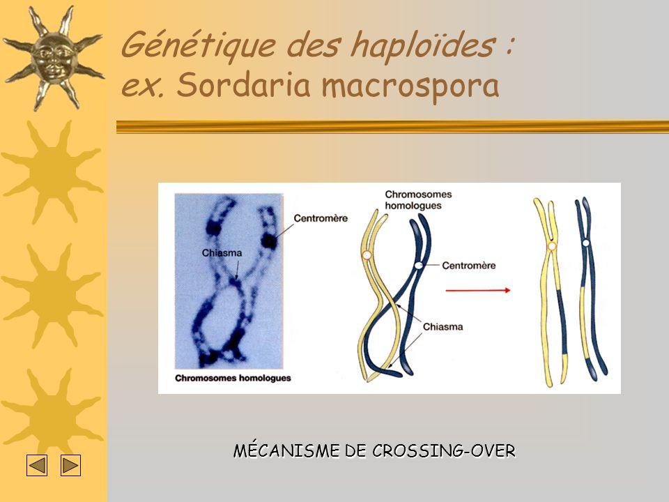 Génétique des haploïdes : ex. Sordaria macrospora MÉCANISME DE CROSSING-OVER
