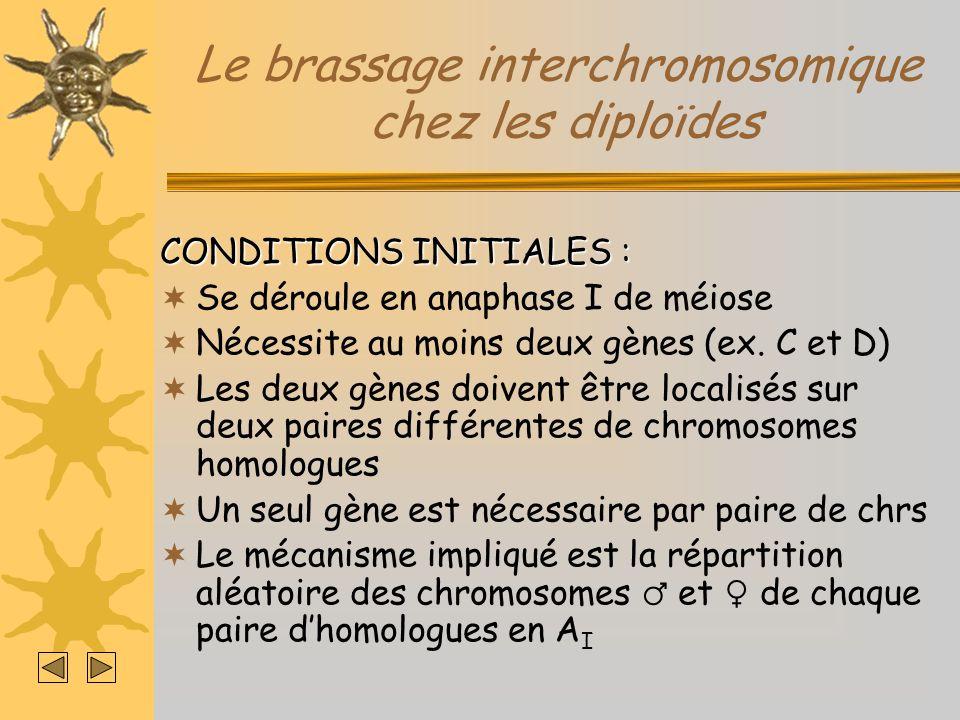 Le brassage interchromosomique chez les diploïdes CONDITIONS INITIALES : Se déroule en anaphase I de méiose Nécessite au moins deux gènes (ex. C et D)