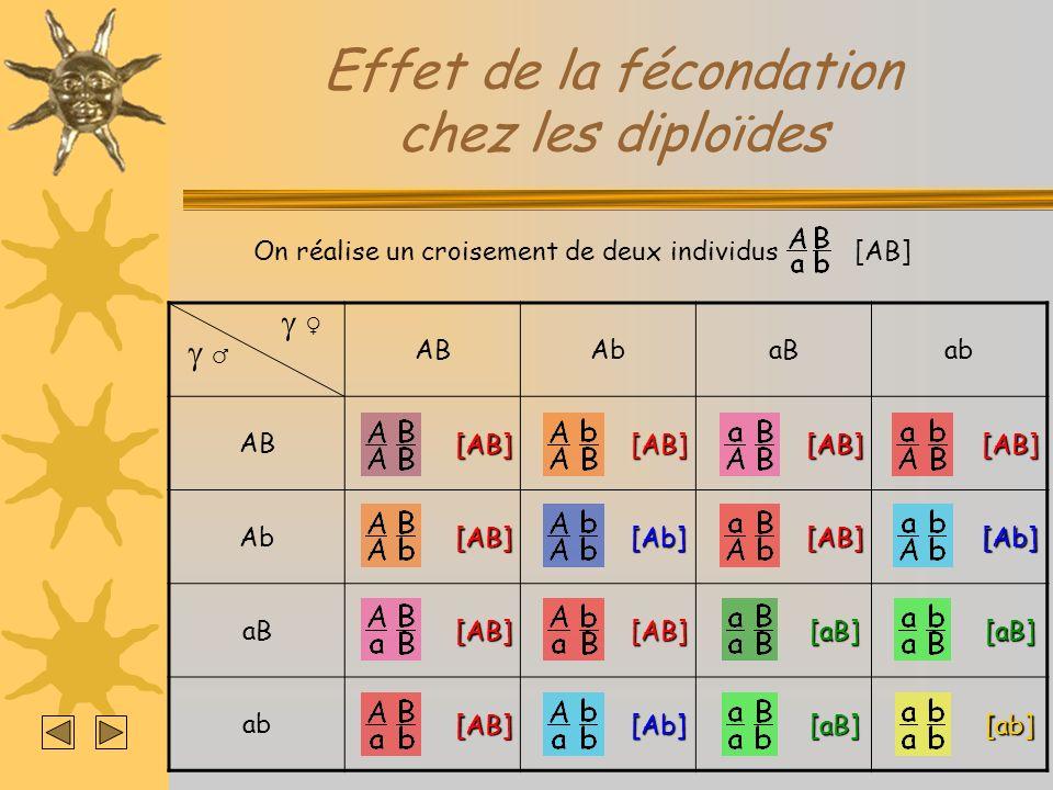 Effet de la fécondation chez les diploïdes ABAbaBab AB Ab aB ab On réalise un croisement de deux individus [AB] [AB] [AB] [AB] [AB] [AB] [AB] [AB] [AB