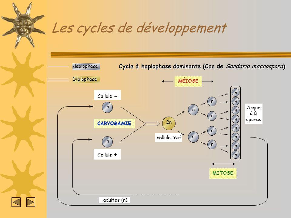 Les cycles de développementHaplophaseDiplophase Cycle à haplophase dominante (Cas de Sordaria macrospora) MÉIOSE 2n cellule œuf adultes (n) n n n n n