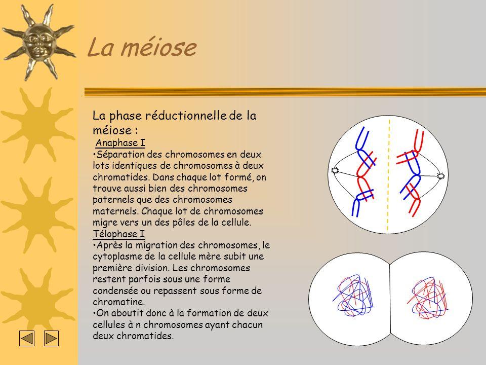 La méiose La phase réductionnelle de la méiose : Anaphase I Séparation des chromosomes en deux lots identiques de chromosomes à deux chromatides. Dans