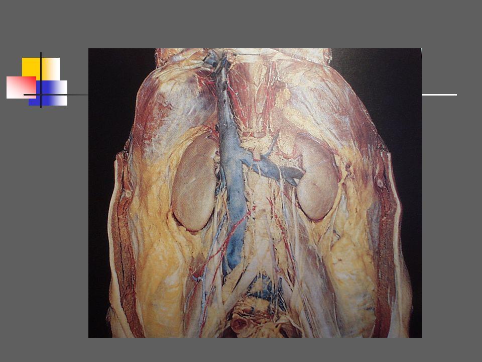 I Rappel anatomique