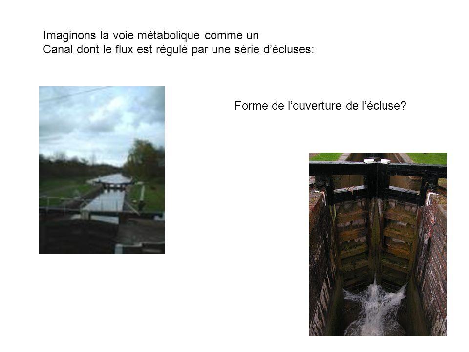 Imaginons la voie métabolique comme un Canal dont le flux est régulé par une série décluses: Forme de louverture de lécluse?