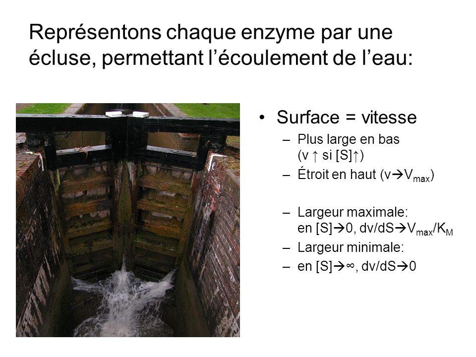 Représentons chaque enzyme par une écluse, permettant lécoulement de leau: Surface = vitesse –Plus large en bas (v si [S]) –Étroit en haut (v V max ) –Largeur maximale: en [S] 0, dv/dS V max /K M –Largeur minimale: –en [S], dv/dS 0