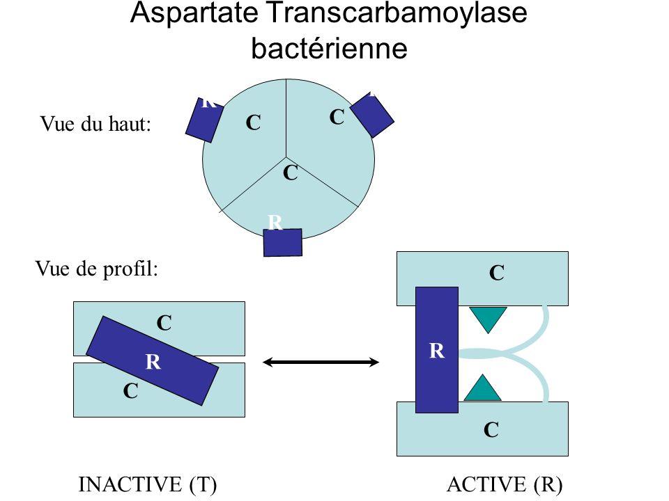 Aspartate Transcarbamoylase bactérienne INACTIVE (T)ACTIVE (R) Vue du haut: C C C C C R R R R Vue de profil: R C C