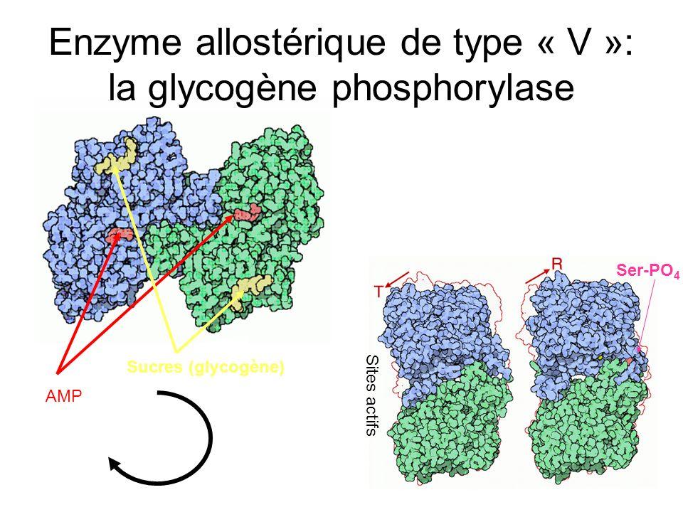 AMP Sucres (glycogène) Enzyme allostérique de type « V »: la glycogène phosphorylase Ser-PO 4 Sites actifs