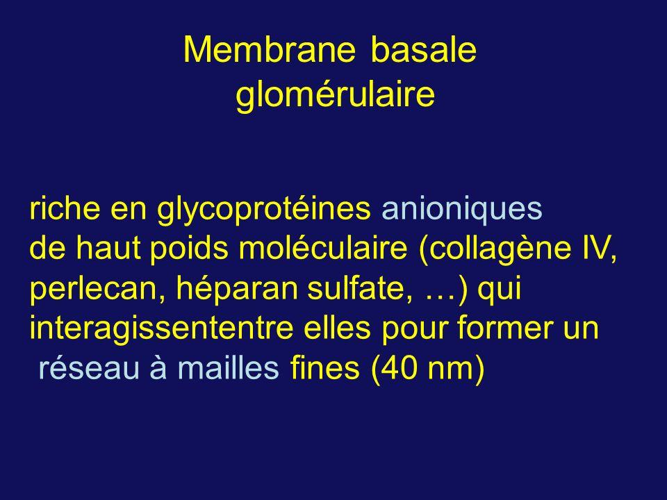 riche en glycoprotéines anioniques de haut poids moléculaire (collagène IV, perlecan, héparan sulfate, …) qui interagissententre elles pour former un réseau à mailles fines (40 nm) Membrane basale glomérulaire