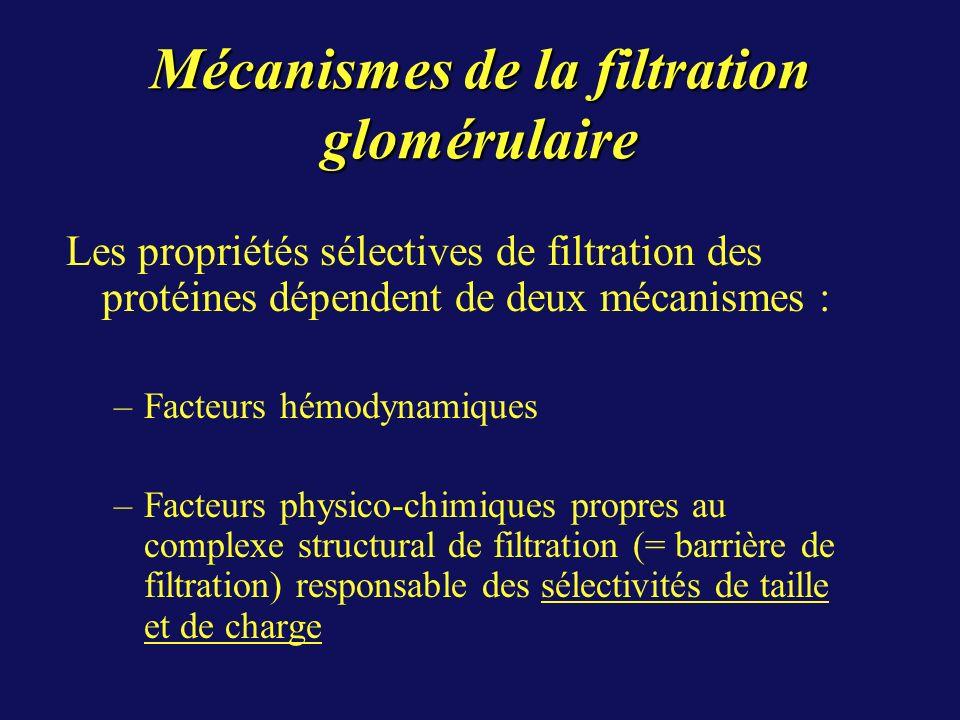 Mécanismes de la filtration glomérulaire Les propriétés sélectives de filtration des protéines dépendent de deux mécanismes : –Facteurs hémodynamiques –Facteurs physico-chimiques propres au complexe structural de filtration (= barrière de filtration) responsable des sélectivités de taille et de charge