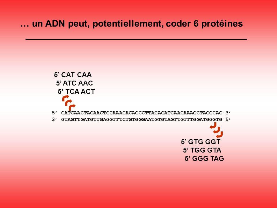 5 CAT CAA 5 ATC AAC 5 TCA ACT 5 GTG GGT 5 TGG GTA 5 GGG TAG … un ADN peut, potentiellement, coder 6 protéines 5 CATCAACTACAACTCCAAAGACACCCTTACACATCAACAAACCTACCCAC 3 3 GTAGTTGATGTTGAGGTTTCTGTGGGAATGTGTAGTTGTTTGGATGGGTG 5