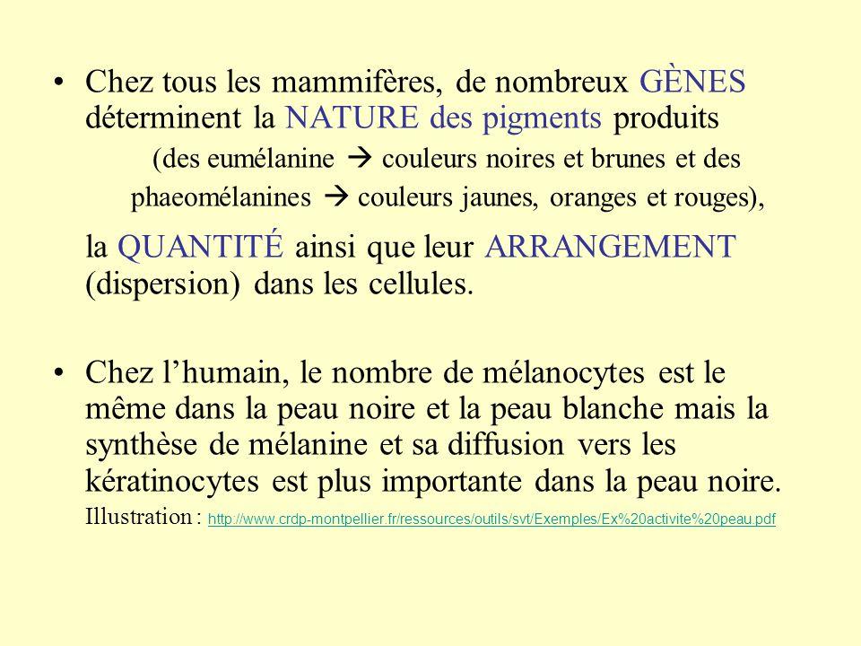 Chez tous les mammifères, de nombreux GÈNES déterminent la NATURE des pigments produits (des eumélanine couleurs noires et brunes et des phaeomélanine