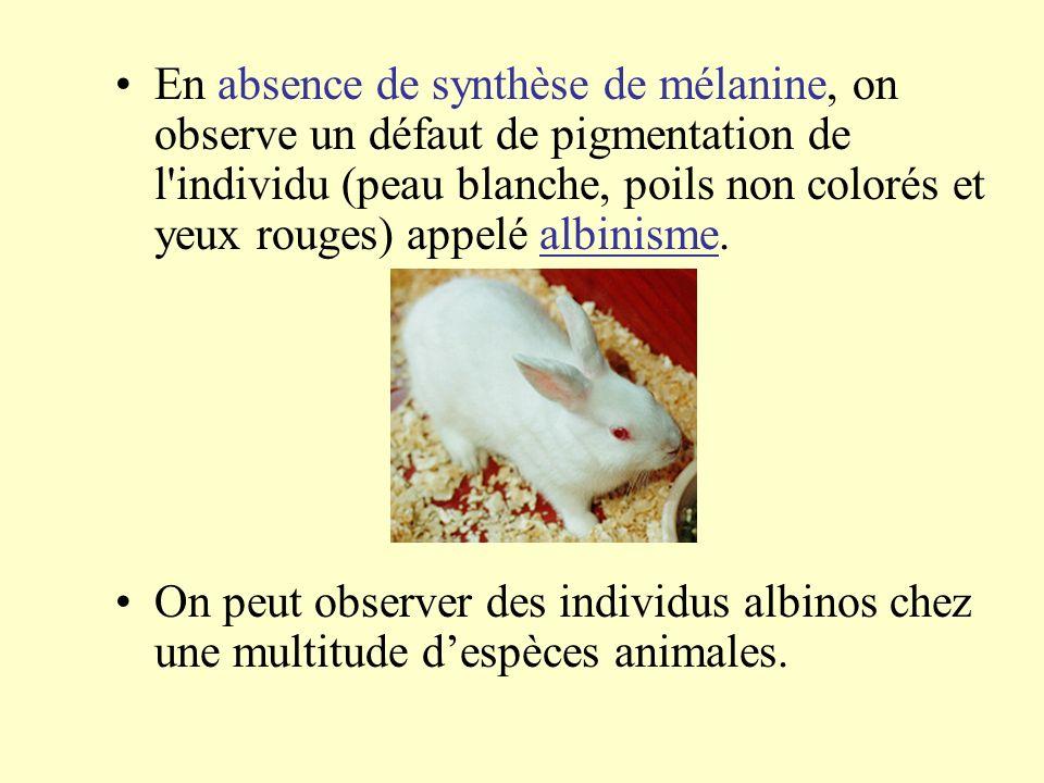 En absence de synthèse de mélanine, on observe un défaut de pigmentation de l'individu (peau blanche, poils non colorés et yeux rouges) appelé albinis