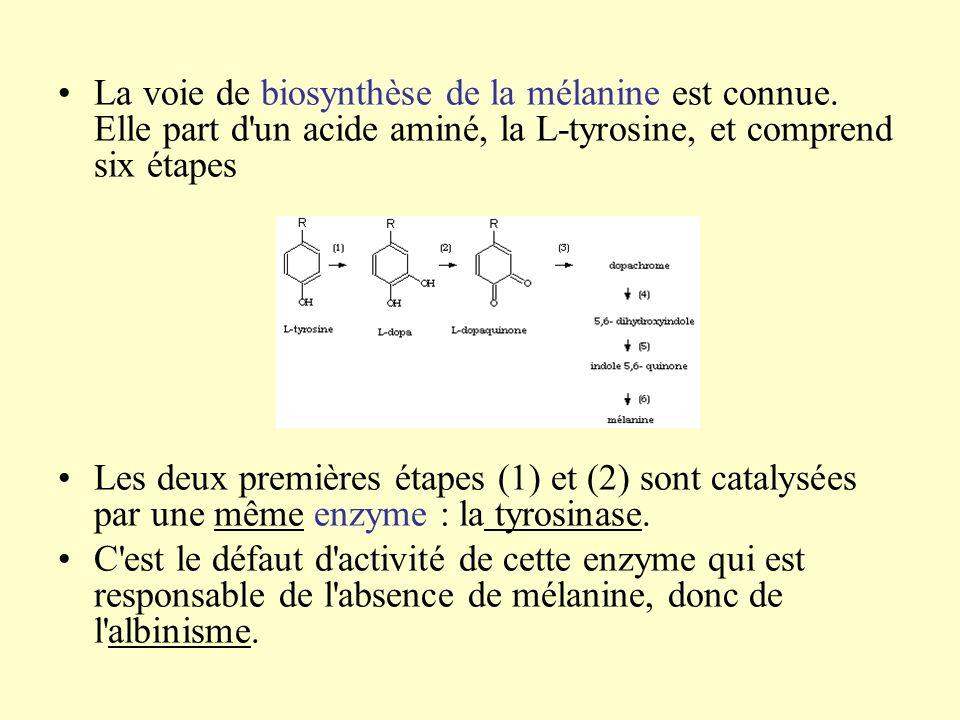 La voie de biosynthèse de la mélanine est connue. Elle part d'un acide aminé, la L-tyrosine, et comprend six étapes Les deux premières étapes (1) et (