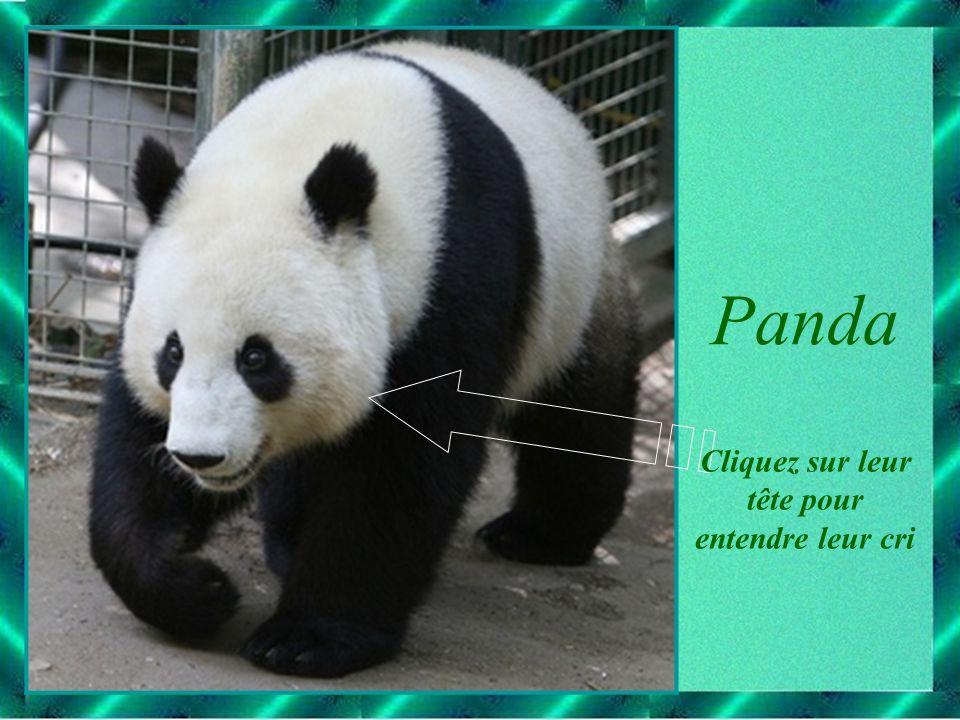 Panda Cliquez sur leur tête pour entendre leur cri