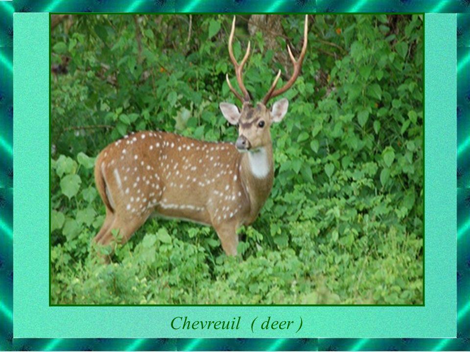 Chevreuil ( deer )