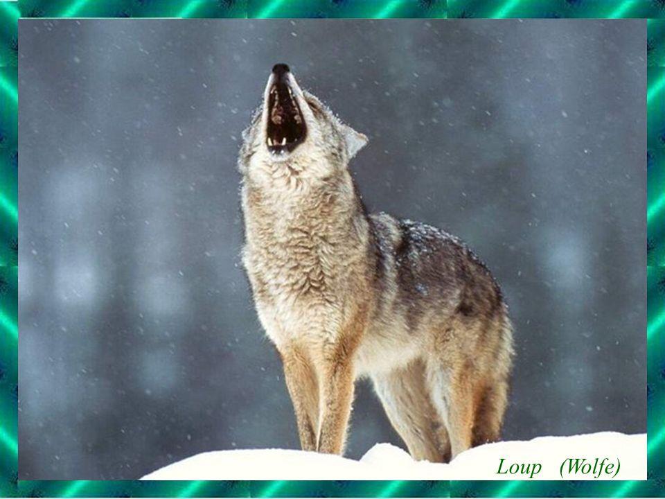 Loup (Wolfe)