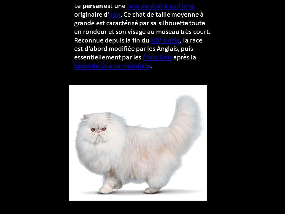 Le chat persan De Rhéa 46