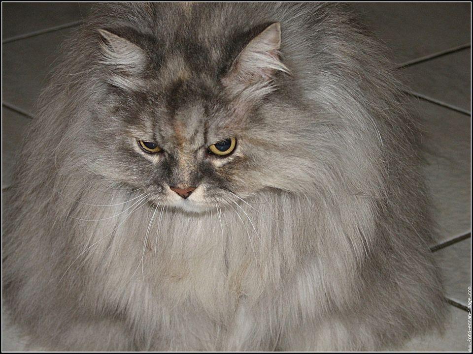 Le persan est un chat tout en rondeur de type bréviligne.