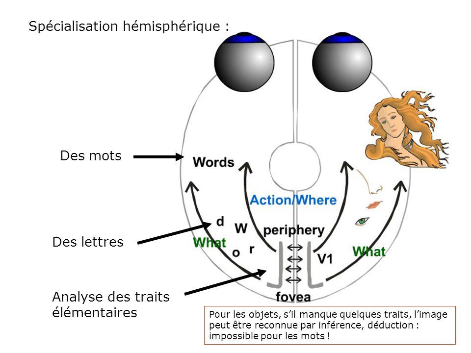 Et au delà des aires occipitales ? 2 systèmes différents : Where (projections dorsales) & What (projections ventrales) Lanalyse visuelle débute en V1