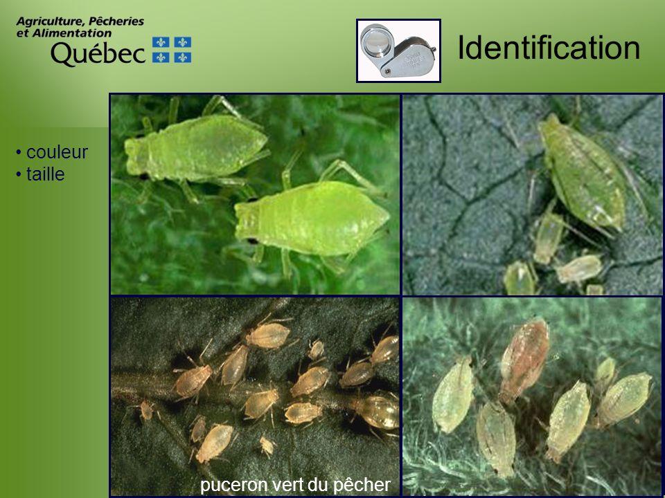 Identification puceron vert du pêcher couleur taille