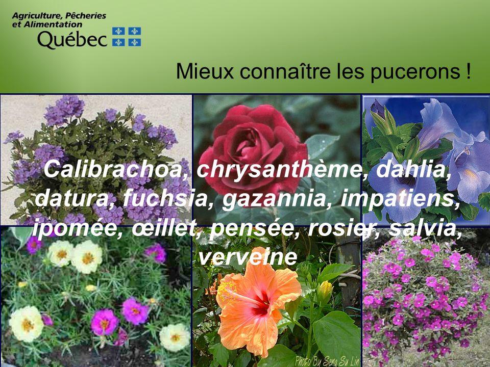 Calibrachoa, chrysanthème, dahlia, datura, fuchsia, gazannia, impatiens, ipomée, œillet, pensée, rosier, salvia, verveine