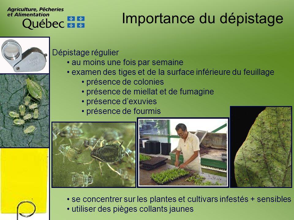 Importance du dépistage Dépistage régulier au moins une fois par semaine examen des tiges et de la surface inférieure du feuillage présence de colonie
