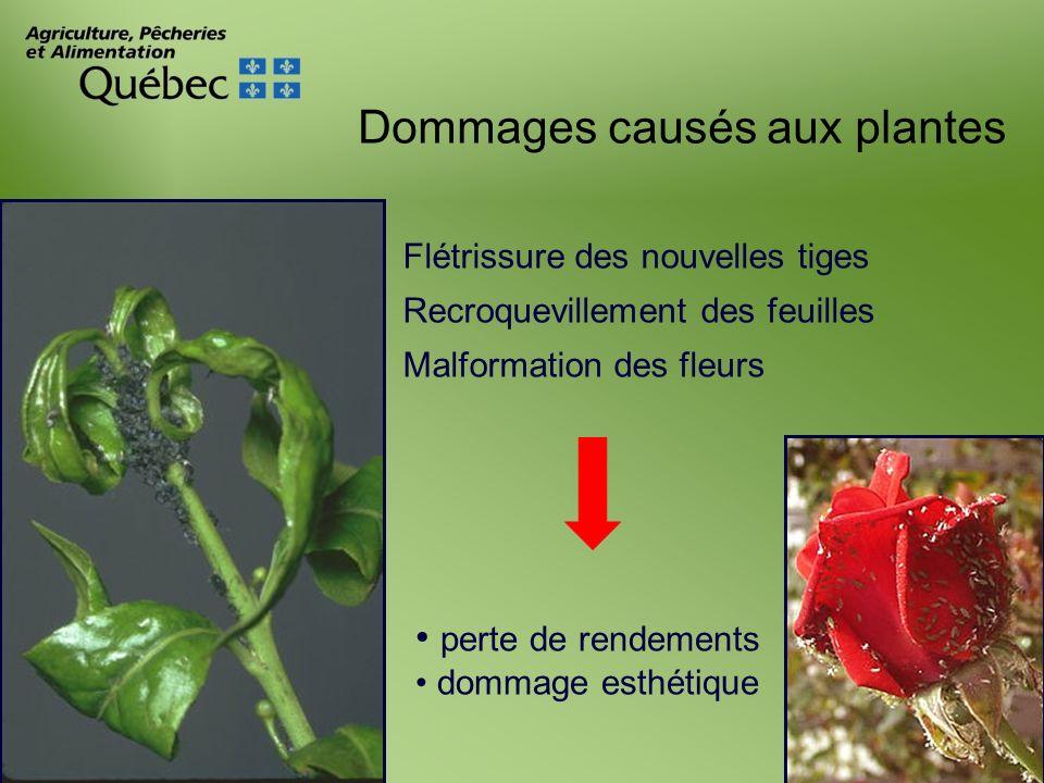 Dommages causés aux plantes Flétrissure des nouvelles tiges Recroquevillement des feuilles Malformation des fleurs perte de rendements dommage esthéti
