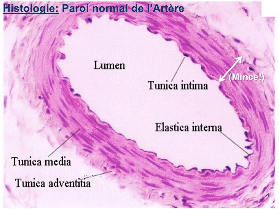 3 Histologie: Artère Pulmonaire Normal