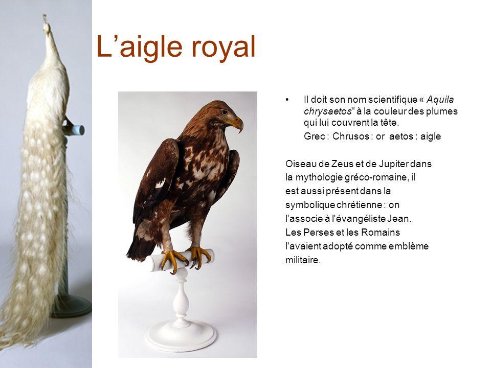 Laigle royal Il doit son nom scientifique « Aquila chrysaetos à la couleur des plumes qui lui couvrent la tête.