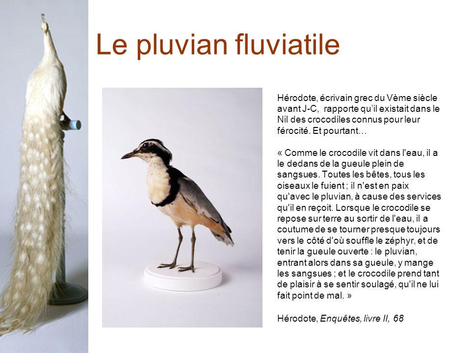 Le pluvian fluviatile Hérodote, écrivain grec du Vème siècle avant J-C, rapporte quil existait dans le Nil des crocodiles connus pour leur férocité.