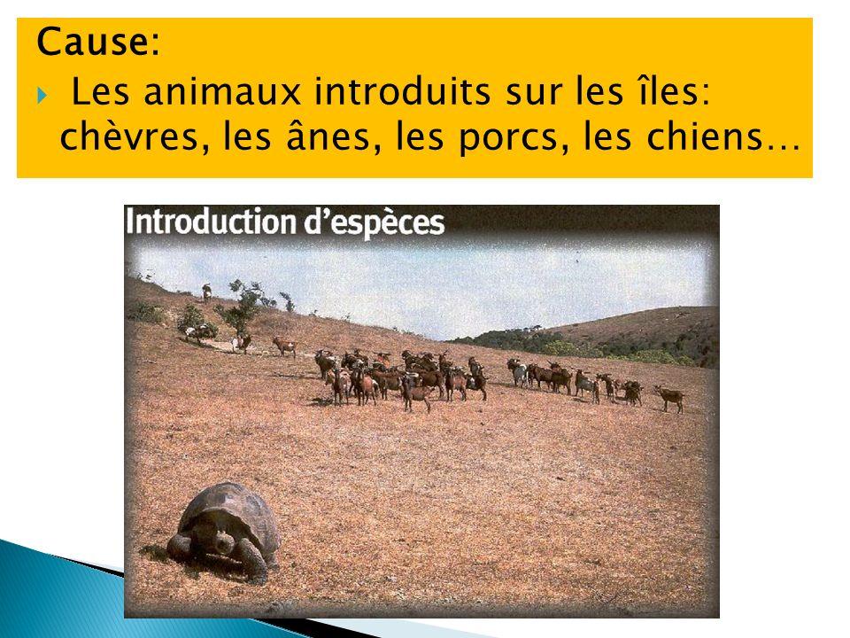 Cause: Les animaux introduits sur les îles: chèvres, les ânes, les porcs, les chiens…
